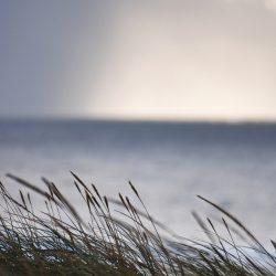 Strandhafer weht im im Wind