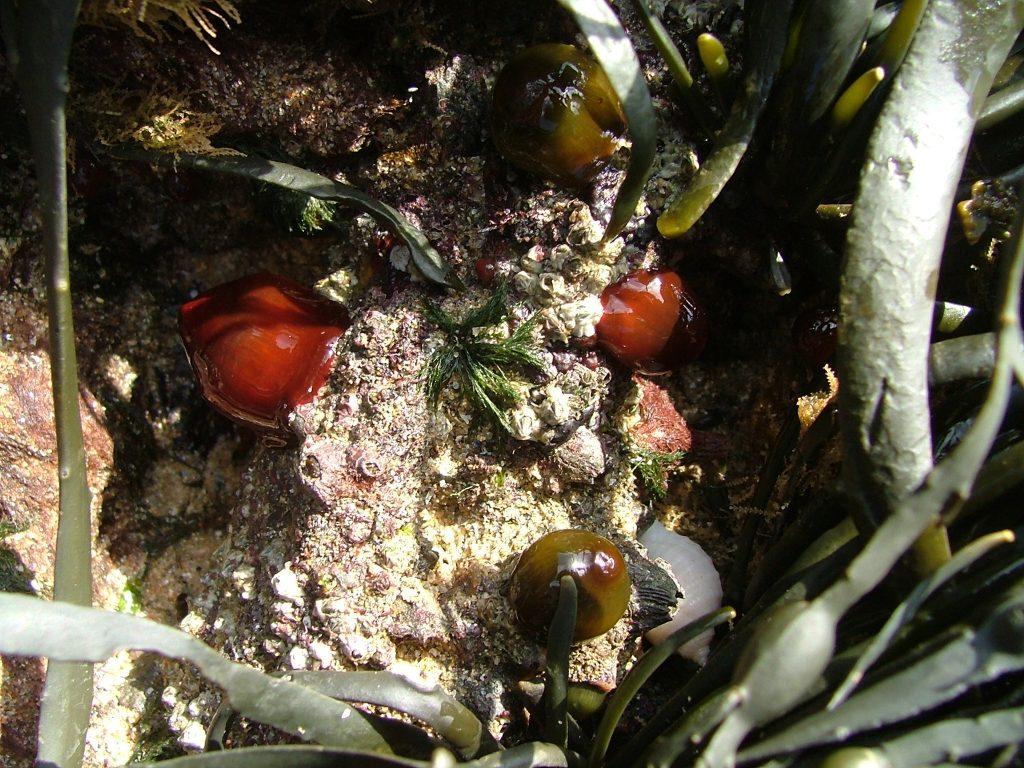 Meerbohnen auf Felsen