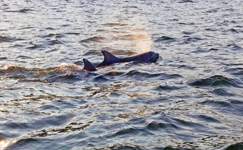 Delfine erobern die Ostsee
