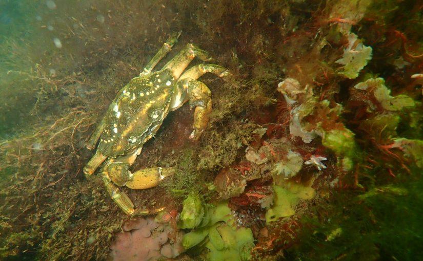 Naturschutz in der Kieler Förde: Biotopverbundkonzept für Unterwasser-Riffe