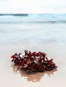 rote Algen am Strand