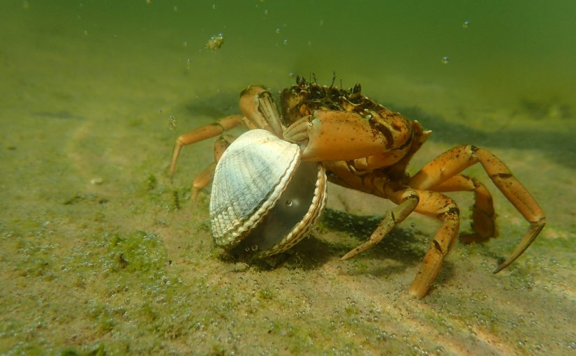 Strandkrabbe mit Muschel