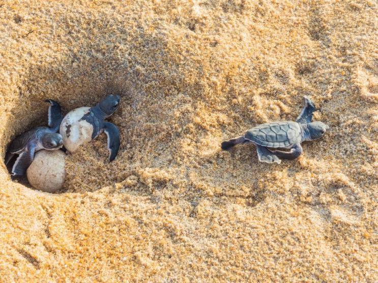 Grüne Meeresschildkröten schlüpfen aus Gelege