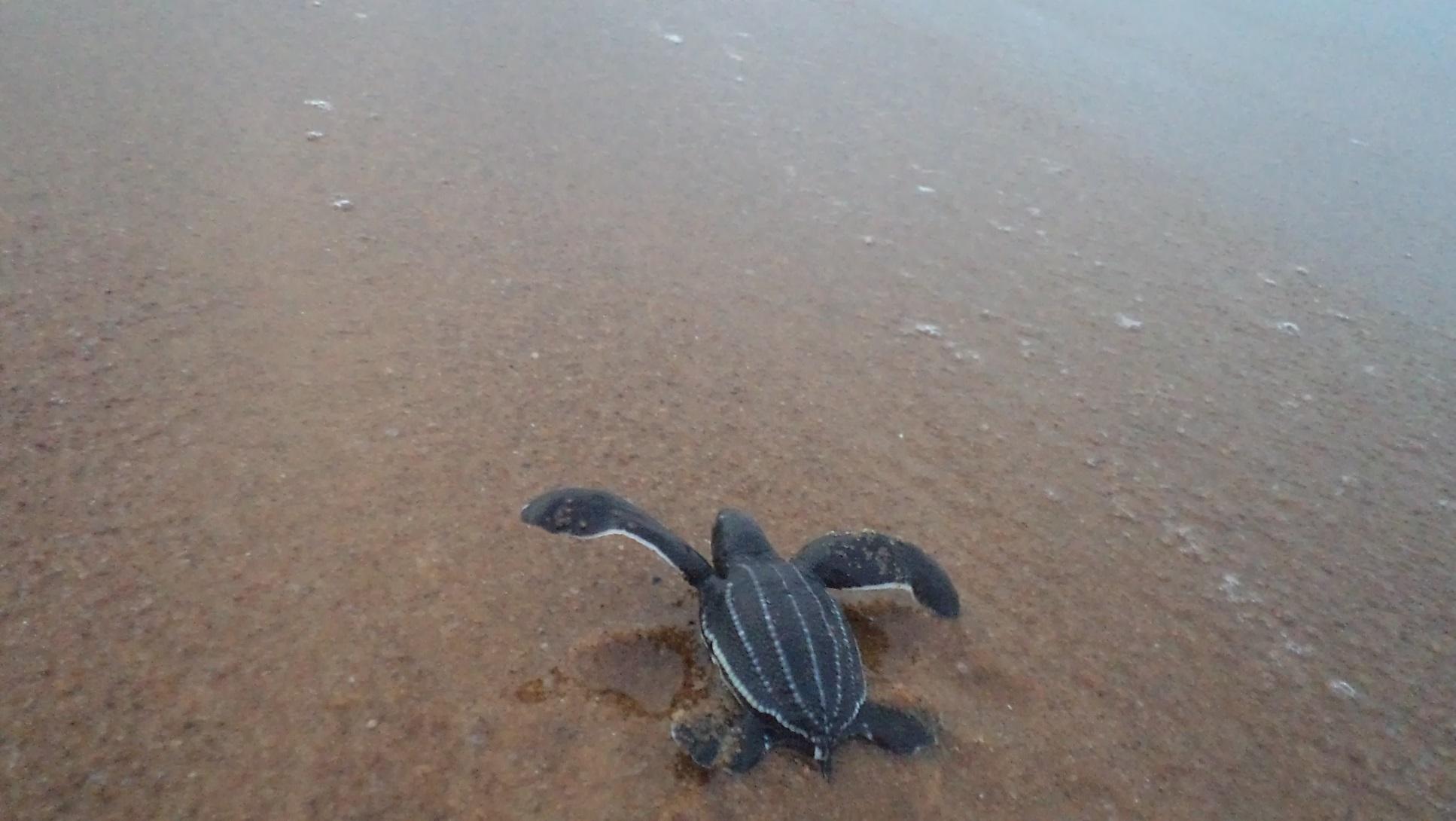 Junge Lederschildkröte, Dermochelys coriacea auf dem Weg ins Meer
