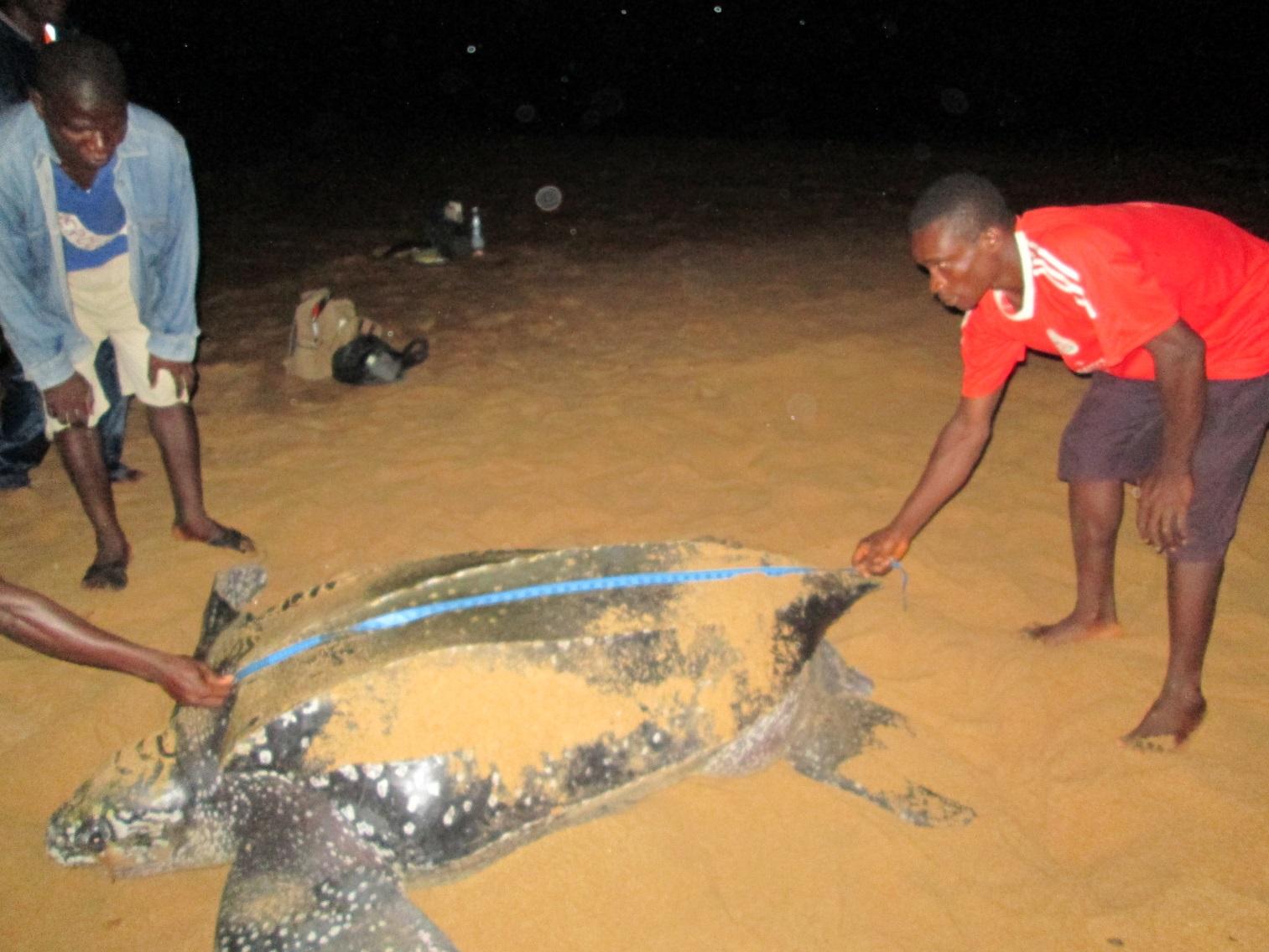 Lederschildkröte (Dermochelys coriacea)wird vermessen
