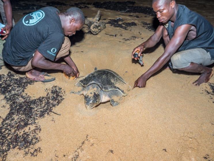 Oliv-Bastardschildkröte wird vermessen